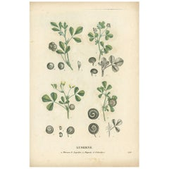 Antique Print of Alfalfa 'or Lucerne' by Jaume Saint-Hilaire '1829'