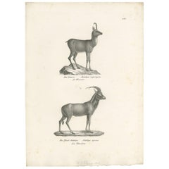 Antique Print of Antelopes by Schinz 'c.1830'