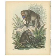 Antique Print of Baboons by Hoffmann '1859'