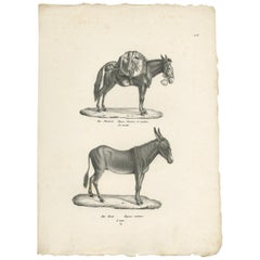Antique Print of Donkeys by Schinz, c.1830