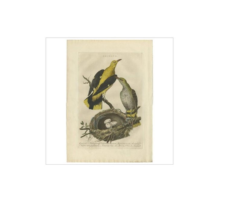 Antique print titled 'Orjolus'. Orioles are colorful old world passerine birds in the genus Oriolus, the namesake of the corvoidean family Oriolidae. They are not related to the New World orioles, which are icterids (family Icteridae) and belong to
