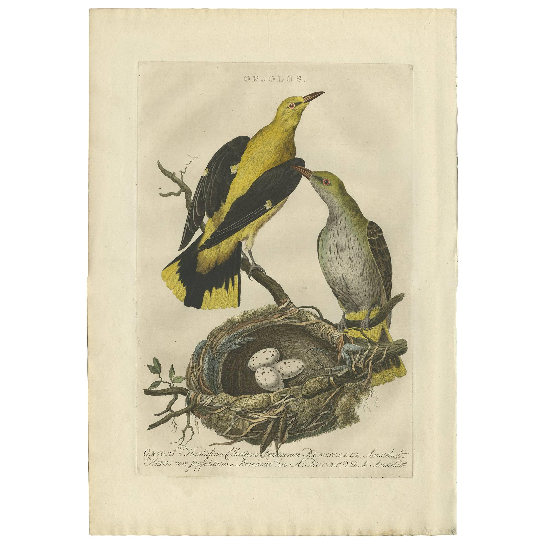 Antique Print of Oriolus Birds by Sepp & Nozeman, 1770