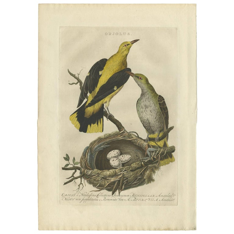 Antique Print of Oriolus Birds by Sepp & Nozeman, 1770 For Sale