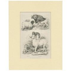Antique Print of Sheep by Partington 'circa 1840'