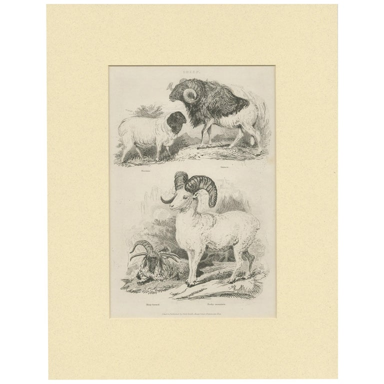 Antique Print of Sheep by Partington 'circa 1840' For Sale
