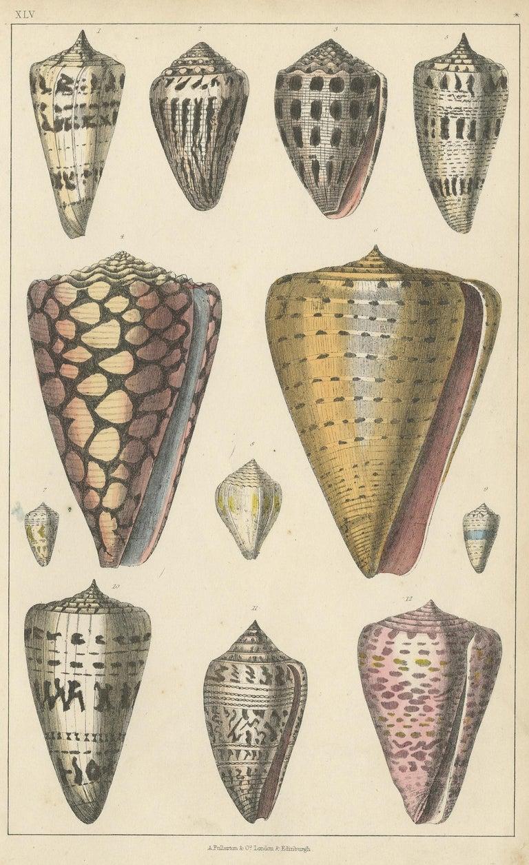 Untitled print (Pl. XLV) depicting various seashells. This print originates from