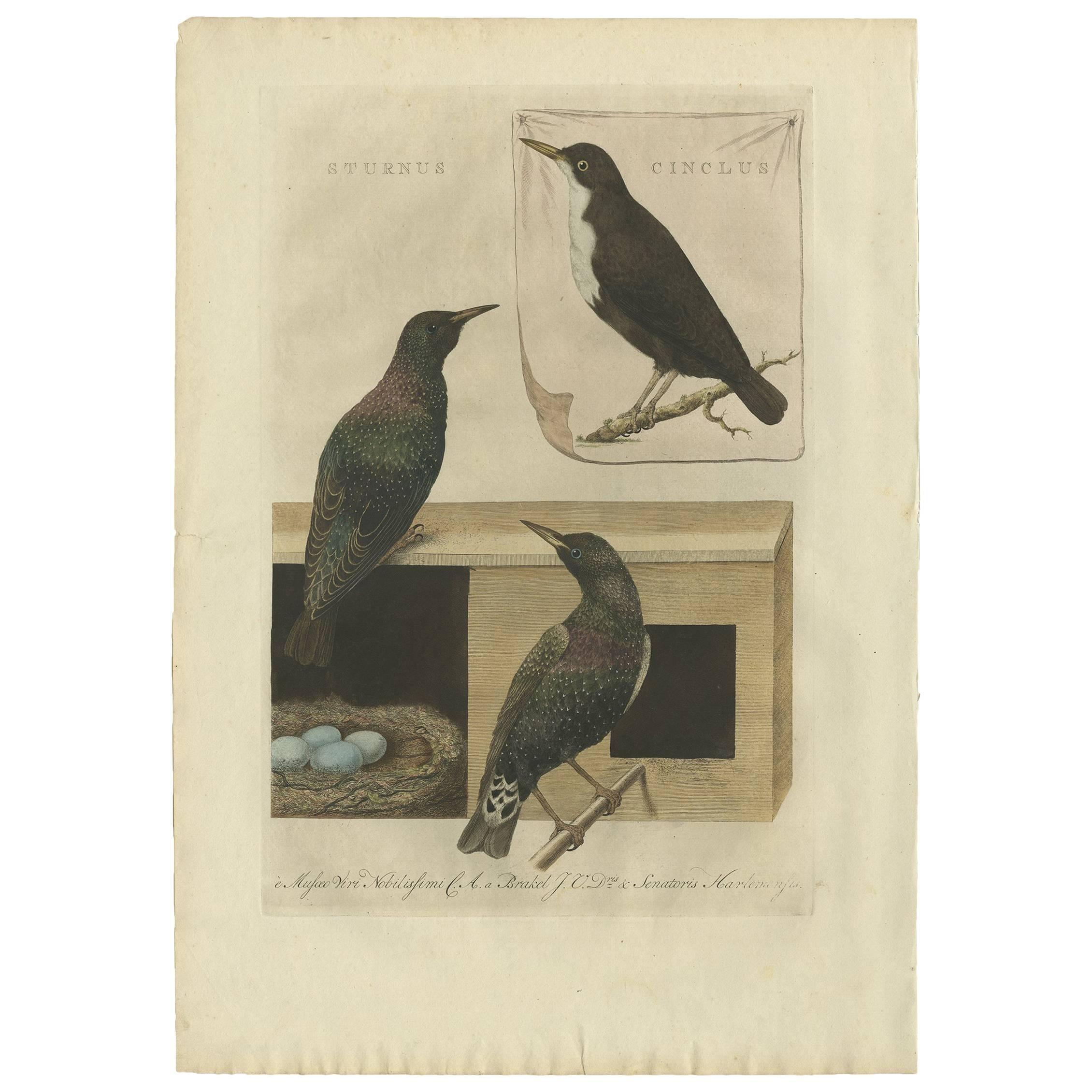 Antique Print of Starling Birds by Sepp & Nozeman, 1770