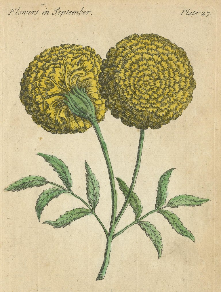 Antique botany print titled 'The African Marigold'. This print originates from 'The Compleat Florist' by J. Duke.