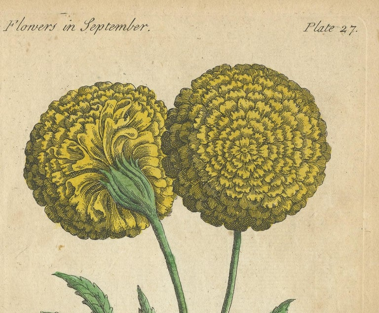 English Antique Print of the African Marigold Flower, 1747 For Sale