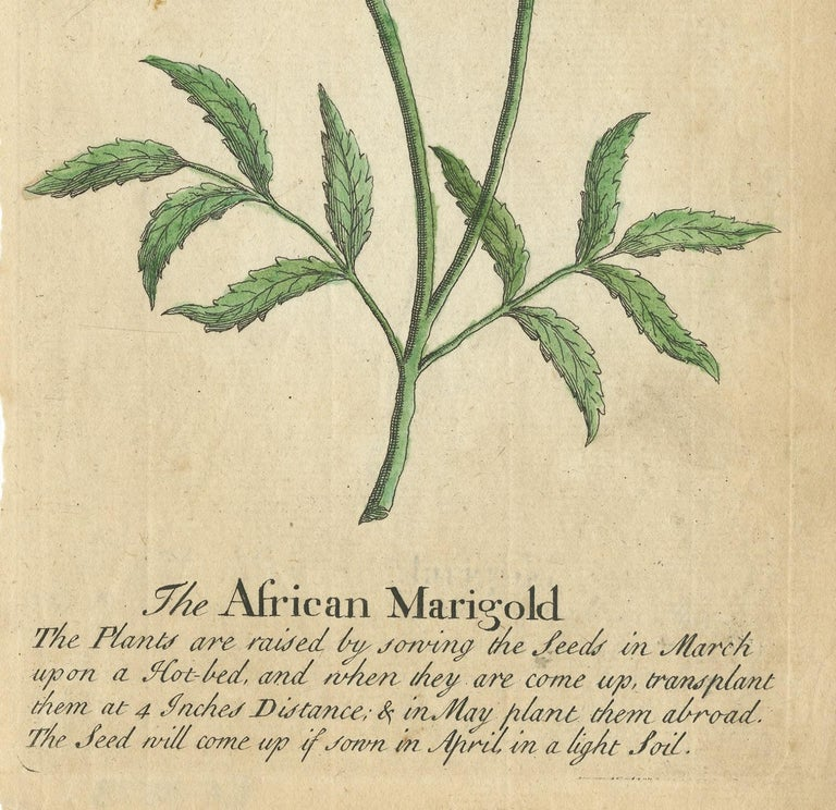 Antique Print of the African Marigold Flower, 1747 In Good Condition For Sale In Langweer, NL