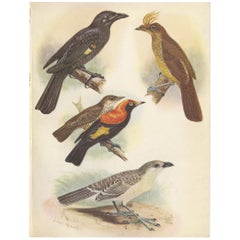 Antique Print of the Archbold's Bower-Bird, Crested Golden Bird and Other, 1950