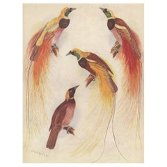 Antique Print of the Augusta Victoria Bird of Paradise and Others, 1950