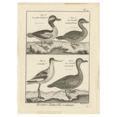 Antique Print of the Avocet Bird and various Ducks by Bonnaterre '1790'