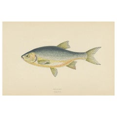 Antique Print of the Azurine Fish by J. Couch, circa 1870