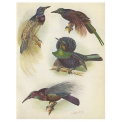 Antique Print of the Bensbach's Rifle Bird and Others, 1950