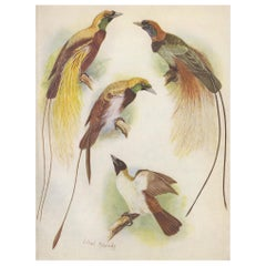 Antique Print of the Blood's Bird of Paradise and the Lesser Bird of Paradise