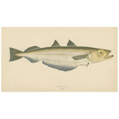 Antique Print of the Blue Whiting Fish by J. Couch, circa 1870