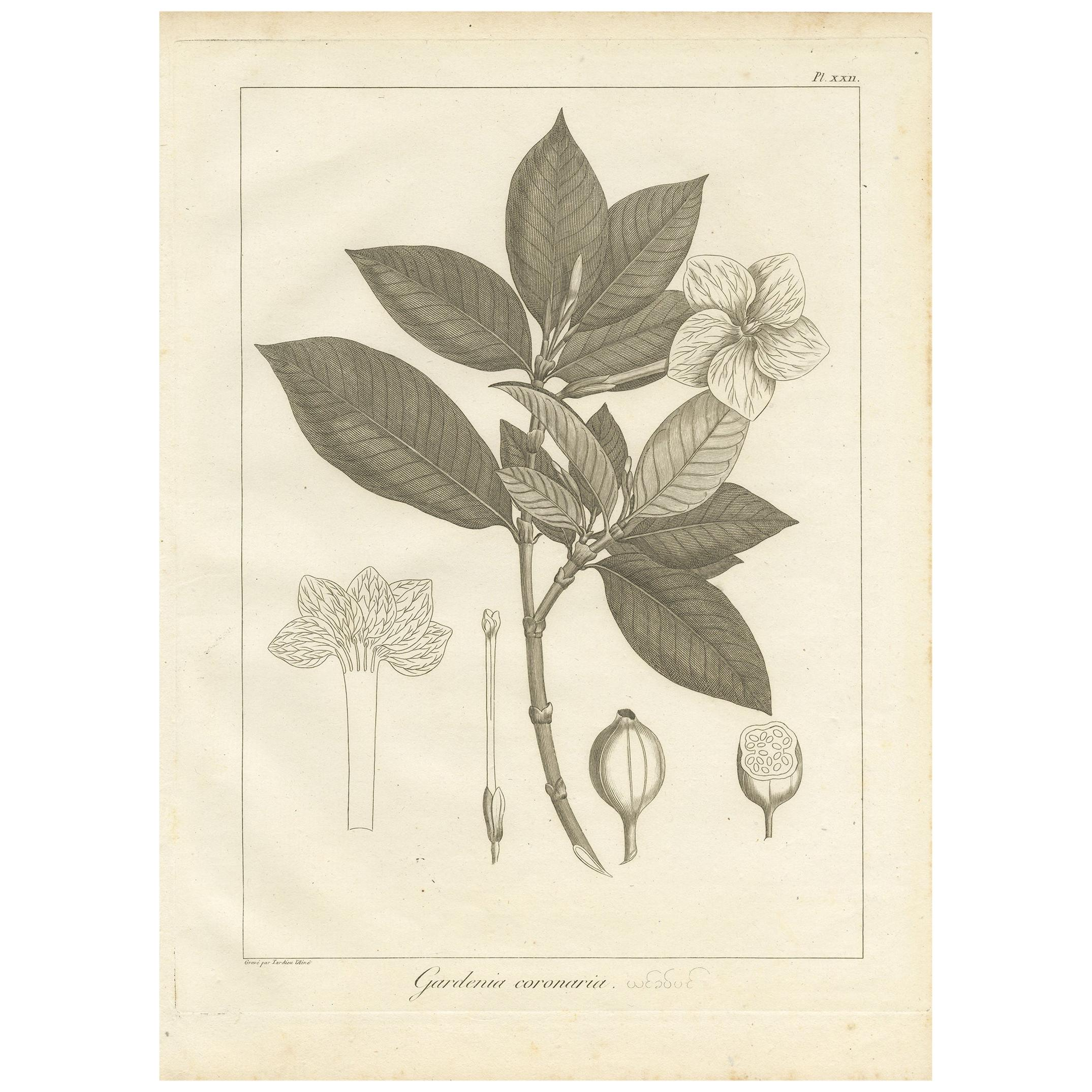 Antique Print of the Crown Gardenia Plant by Symes, '1800'