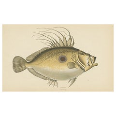 Antique Print of the Dory Fish by J. Couch, circa 1870