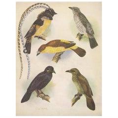 Antique Print of the Enameled Bird, Shield-Bill & Loria's Bird, 1950