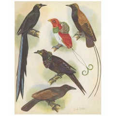 Antique Print of the False-Lobed Longtail and Others, 1950