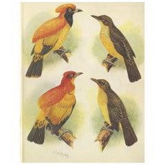 Antique Print of the Golden Bird and the Yellow-Throated Golden Bird, 1950