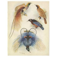 Antique Print of the Goldie's Bird of Paradise and the Blue Bird of Paradise
