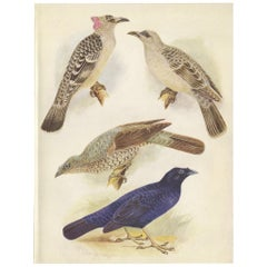 Antique Print of the Great Bower Bird and the Satin Bower Bird '1950'