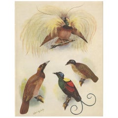 Antique Print of the Greater Bird of Paradise & the Bare-Headed Little King