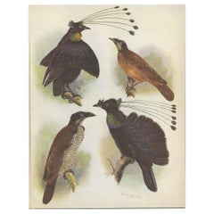 Antique Print of the Lawes Six-Plumed Bird of Paradise and Others, 1950