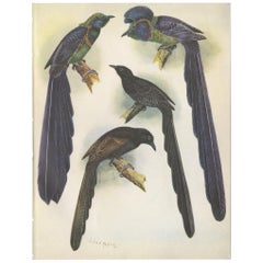 Antique Print of the Long-Tailed Bird of Paradise & the Rothschild's Longtail