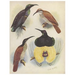 Antique Print of the Magnificent Rifle Bird & the Twelve-Wired Bird of Paradise