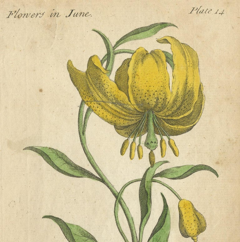 Antique flower print titled 'The Martagon or Mountain Lilly' and 'Rosa Mundi'. These prints originate from 'The Compleat Florist' by J. Duke.