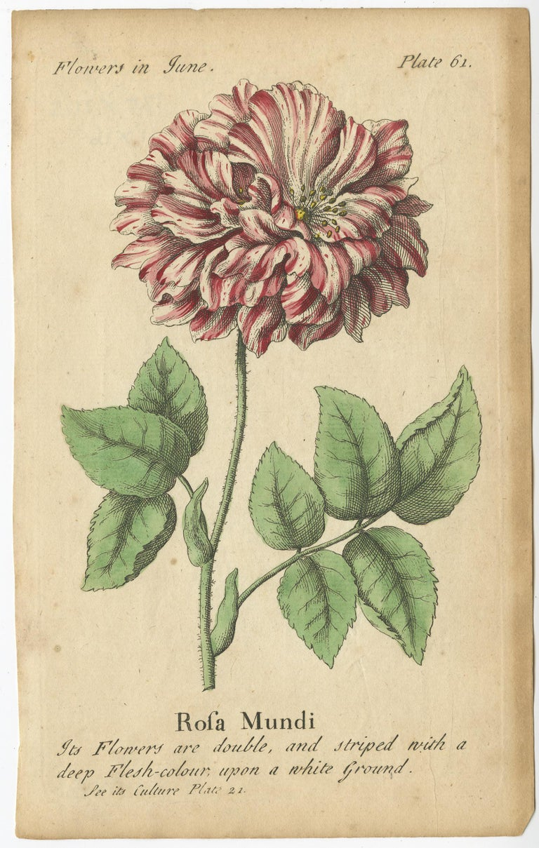 English Antique Print of the Mountain Lily and Rosa Mundi, 1747 For Sale