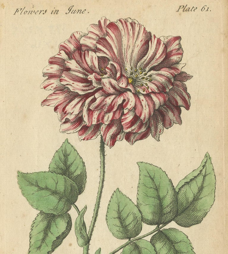 Antique Print of the Mountain Lily and Rosa Mundi, 1747 In Good Condition For Sale In Langweer, NL