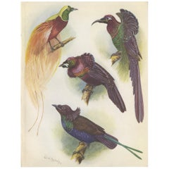 Antique Print of the Mrs Reichenow's Bird of Paradise and Others, 1950