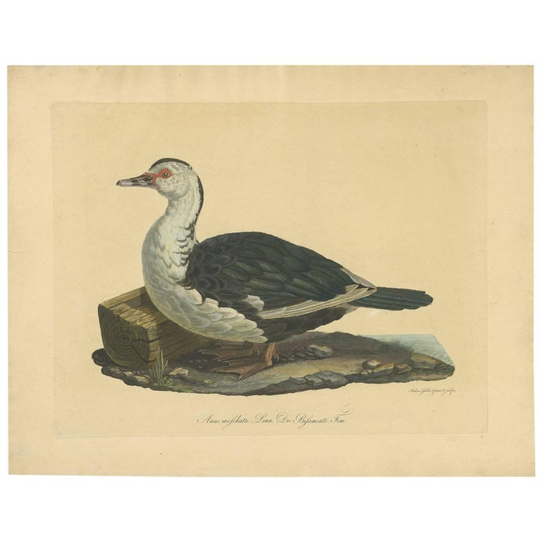 Antique Print of the Muscovy Duck by A  Gabler, circa 1800