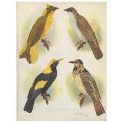 Antique Print of the Newton's Bower-Bird & the Regent Bird, 1950