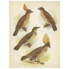 Antique Print of the Orange-Crested Gardener Bird & the Crested Gardener '1950'