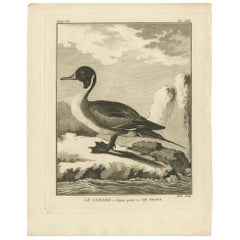 Antique Print of the Pintail Duck by Hulk 'circa 1780'