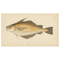 Antique Print of the Pouting fish by J. Couch, circa 1870