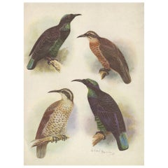 Antique Print of the Queen Victoria Rifle Bird and the Rifle Bird, 1950