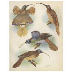 Antique Print of the Red Sickle Billand and the White-Billed Sickle Bill, 1950