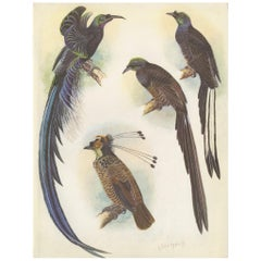Antique Print of the Ribbon-Tail Bird of Paradise and Others, 1950