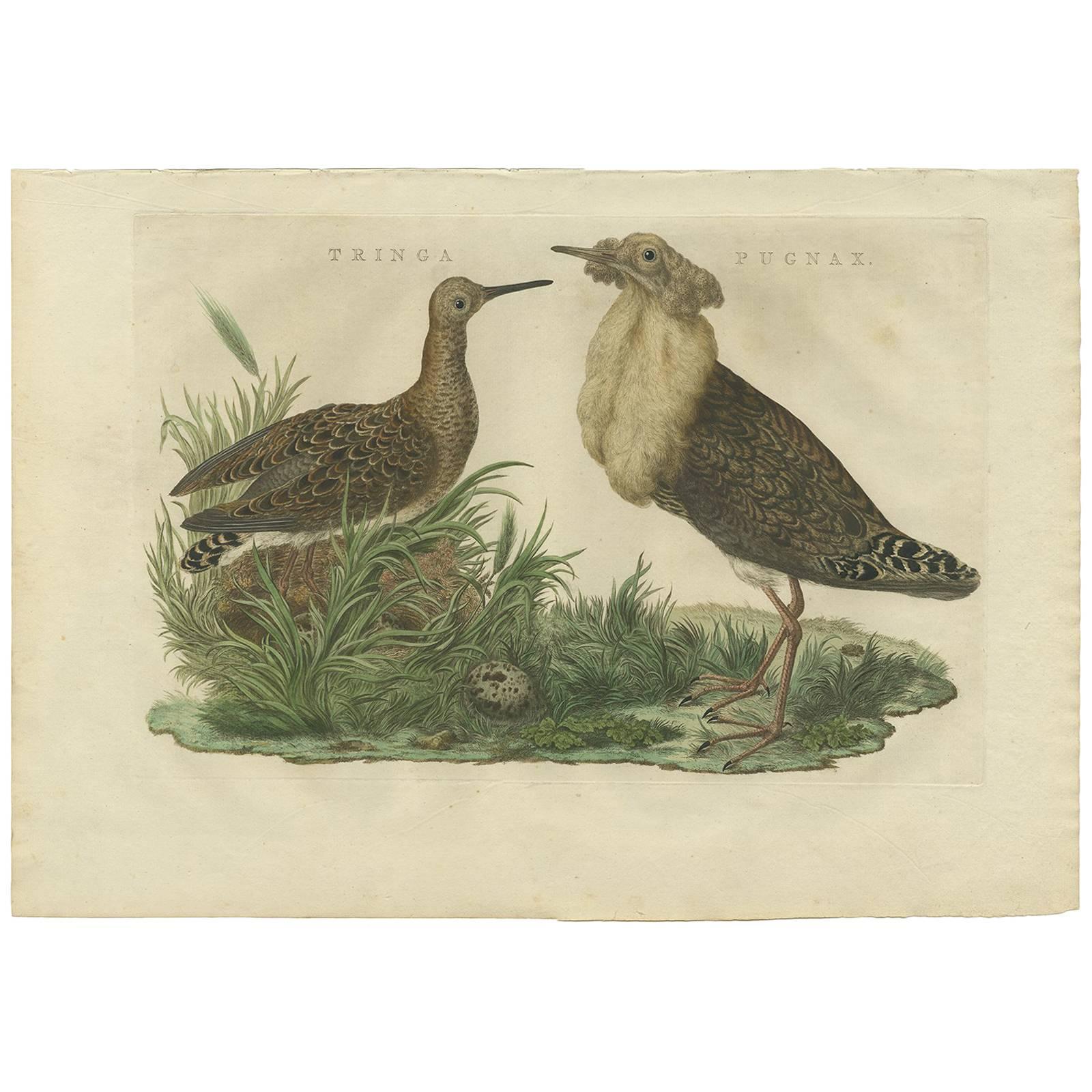 Antique Print of the Ruff Bird by Sepp & Nozeman, 1770