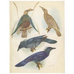 Antique Print of the Standard-Wing and the Trumpet Bird '1950'