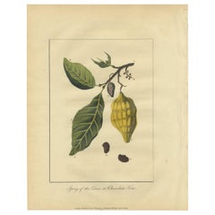 Antique Print of the Theobroma Cacao Tree by Stedman, 1813