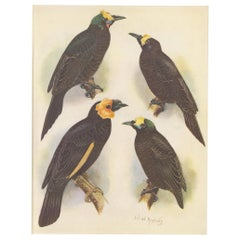 Antique Print of the Wattled Bird of Paradise and Others, 1950