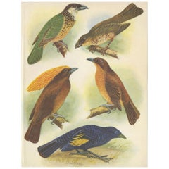 Antique Print of the White-Eared Cat Bird, Tooth-Billed Cat Bird and Other, 1950