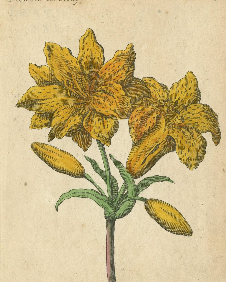 Antique flower prints titled 'Yellow Austrian Rose', 'Cinnamon Rose' and 'Double Orange Lilly'. These prints originate from 'The Compleat Florist' by J. Duke.
